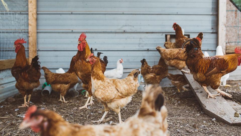 Hühnerklappe